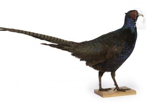 FAISAN Phasianus colchicus.    Provenance  Collection Joseph Védrine (1928 1965)…