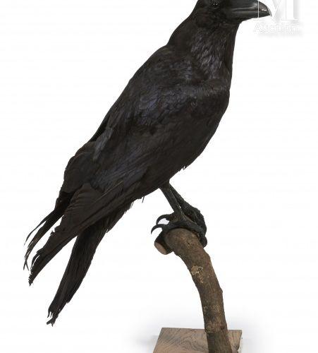 GRAND CORBEAU Corvus corax.    Provenance  Collection Joseph Védrine (1928 1965)…