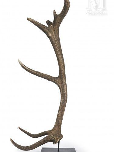 BOIS DE CERF 14 cors. Présenté soclé. Hauteur : 1,06 m.  Cervus elaphus.