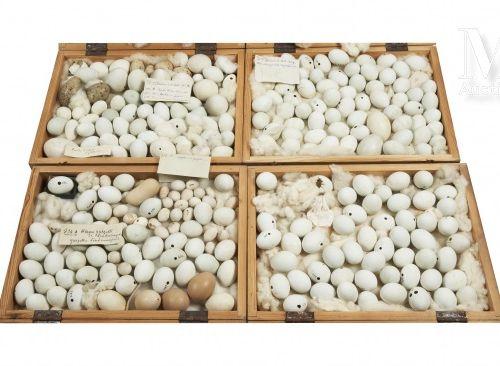 OEUFS D'OISEAUX Rare ensemble d'environ 250 œufs d'oiseaux présenté dans quatre …
