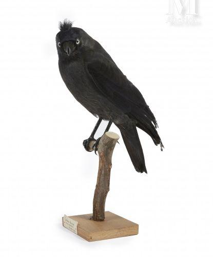 CHOUCAS DES TOURS Corvus monedula.    Provenance  Collection Joseph Védrine (192…