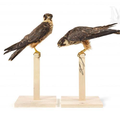 DEUX FAUCONS HOBEREAUX Présentés sur perchoir. Haut. : 43 cm et 35 cm.  II/A, Fa…