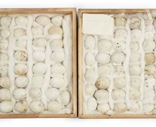 OEUFS D'OISEAUX Rare ensemble de 71 œufs présenté dans deux boites identiques (4…