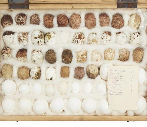 OEUFS D'OISEAUX Rare ensemble de 59 œufs de rapaces présenté dans une boite (40 …