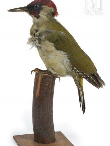 PIC VERT Picus viridis.    Provenance  Collection Joseph Védrine (1928 1965) con…