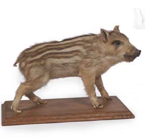 MARCASSIN Naturalisé en entier sur un socle rectangulaire en bois. 45 x 25 cm.  …