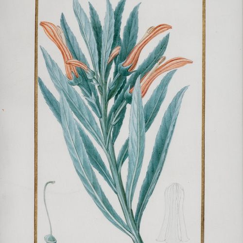 BESSA Pancrace , 1772 1846  Brandt's Lobelia (Lobelia Brandtii)  partially varni…