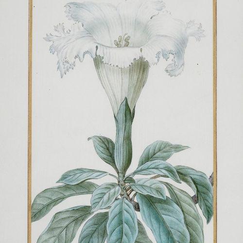 BESSA Pancrace , 1772 1846  Solandra Grandiflora (Chalicevine)  partially varnis…