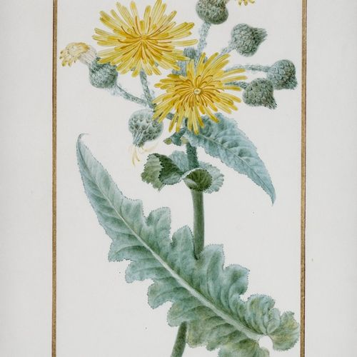 BESSA Pancrace , 1772 1846  Large flowered lemon (Sonchus macranthos)  partially…