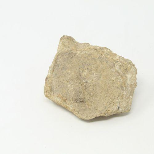 Un fossile de Scutella paulensis (oursin).