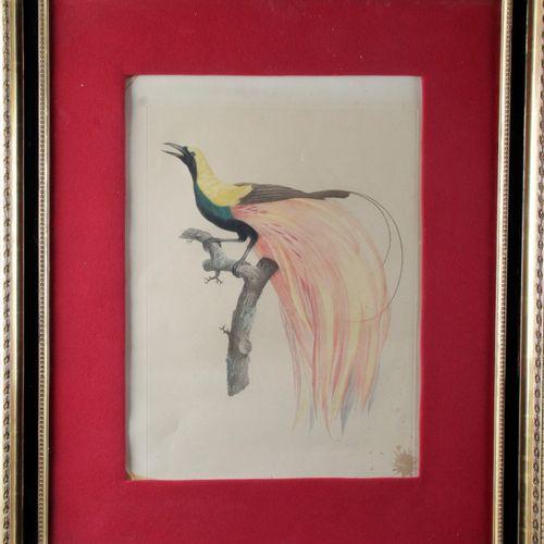 "Jacques BARRABAND (1768 1809) ""Birds of Paradise"" Pair of ornithological plates,…"