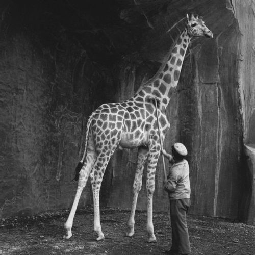 Roger SCHALL (1904 1995) The giraffe at the Vincennes Zoo, 1934.  Photograph, si…