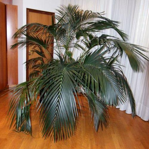 PLANTE VERTE NATURELLE (PALMIER ARECA) DANS UN POT EN RESINE NOIRE SUR ROULETTES…
